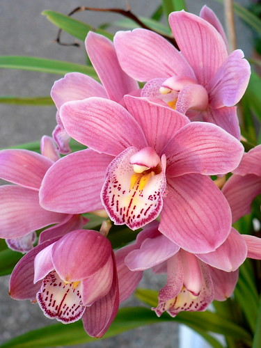 Cymbidium | by outdoorPDK