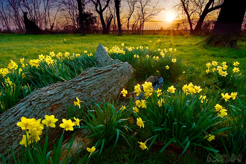 Daffodil Fairy Tale | by mshhoward