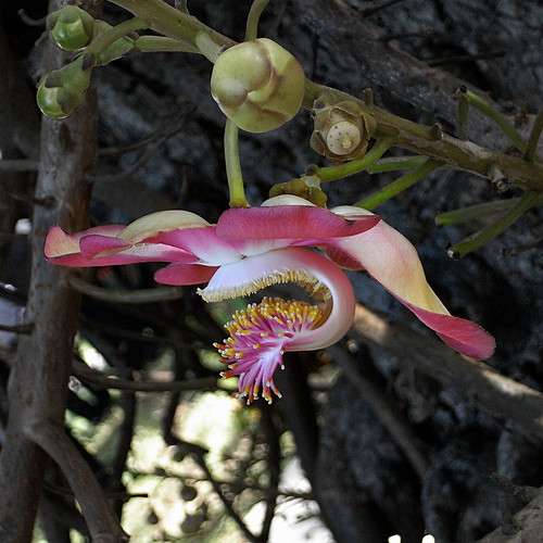 Cannonball Tree Flower | by Wahj