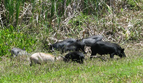 how to get rid of feral pigs