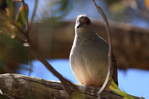 Diamond Dove | by dmmaus