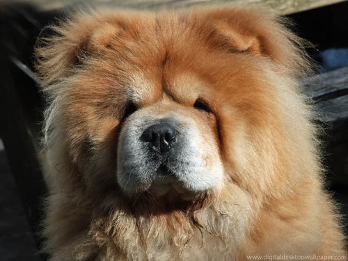 Fluffiest Dog Breeds In The World Nat Berman