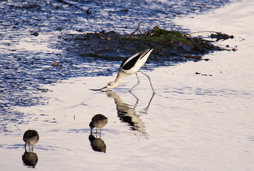 American Avocet and Friends | by *GloriousNature*bySusanGaryPhotography