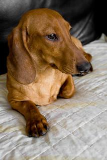 Dashund Entry In Westminser Dog Show