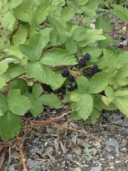 Brambles in Andover | by James's GW Blog