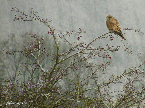 kestrel | by forbesimages