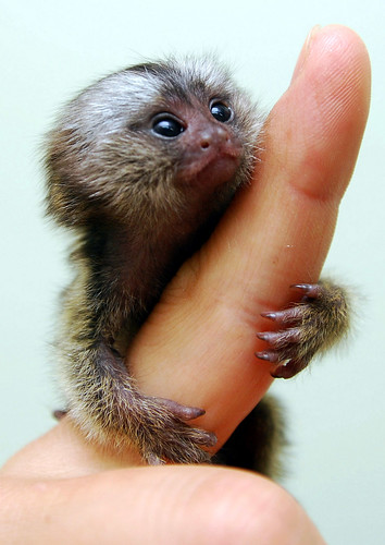 Baby marmoset | by floridapfe