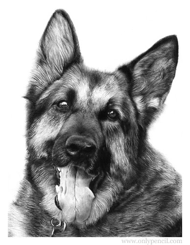 German Shepherd Pencil Drawing | by onlypencil