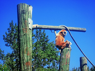 Orangutang Perched | by LostMyHeadache: Absolutely Free *