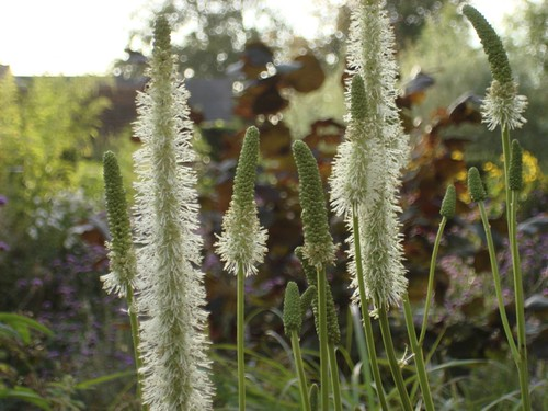Sanguisorba canadensis | by James's GW Blog