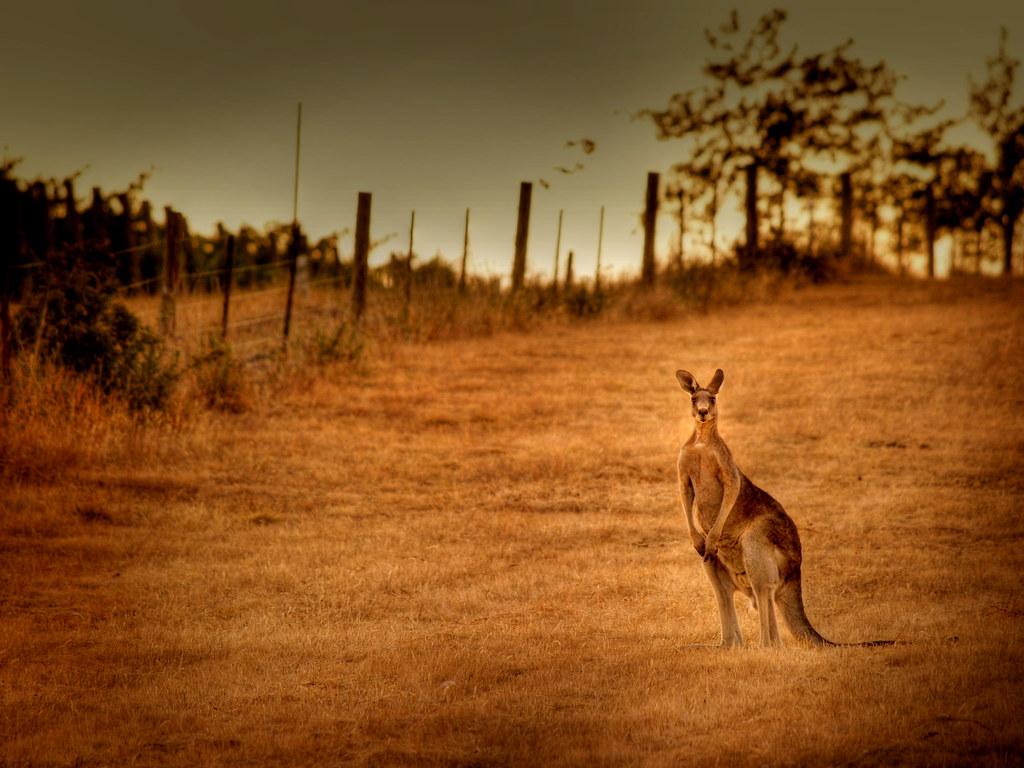 Kangaroo ground victoria