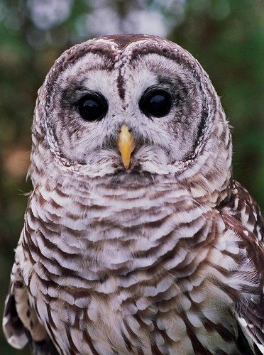 Barred Owl | by AllHarts