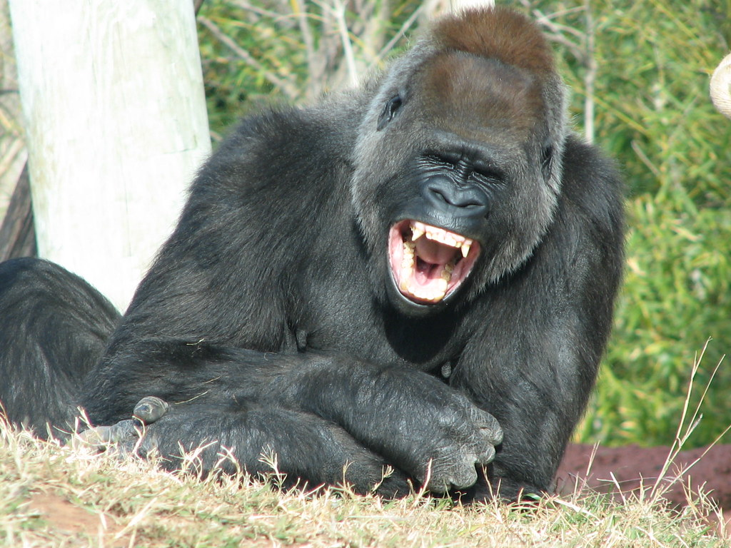 Image result for the laughing gorilla