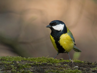 Great tit (Parus major), Parc de Woluwé, Brussels | by Frank.Vassen