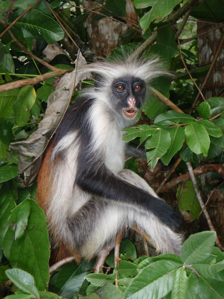 Image result for red colobus monkey