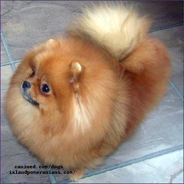 Island Pomeranian Dog Breeder Picture 23 Island Pomeranian Flickr