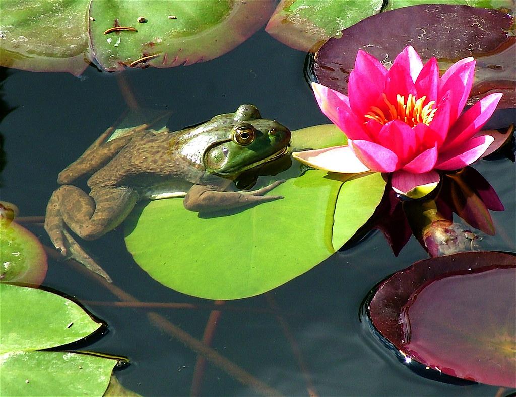 Frog on a lily pad richard fortner flickr charlie3engineer frog on a lily pad by charlie3engineer izmirmasajfo