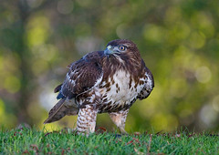 Red Tailed Hawk | by copeg