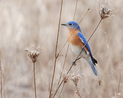 Eastern Bluebird-2 | by jeffloomis1