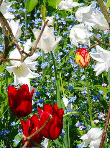 Red, White and Blue (+ a Little Yellow) at Great Dixter | by antonychammond