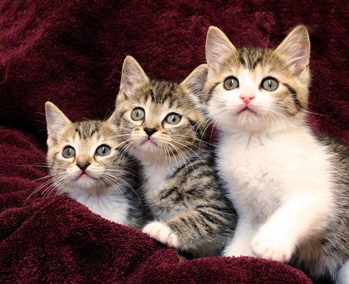 Cute Kitten Trio | by SarahHuntPhotography