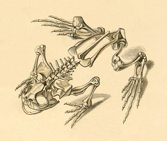Frog skeleton a | by peacay