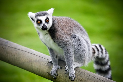 Lemur re-visited | by Divine by Design