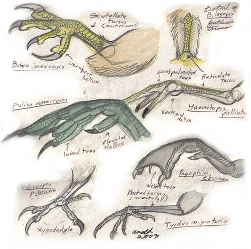 Comparative anatomy: bird feet   Pencil and watercolors.   Flickr