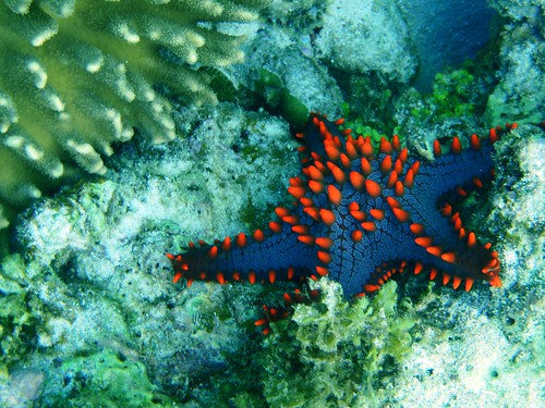 Dotted Blue Starfish 191108 | by pstarfill