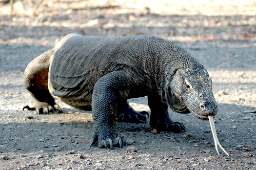 Forked tongue of Komodo Dragon - Komodo, Indonesia | by whl.travel