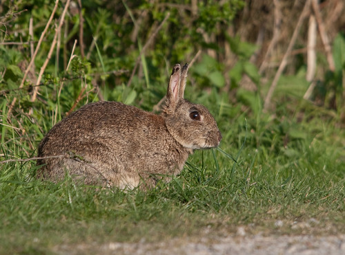 how to get rid of rabbits eating grass
