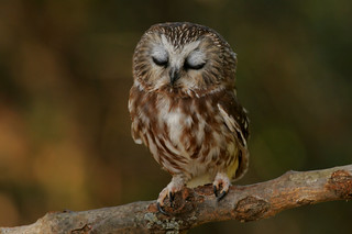 Sleepy Saw-whet Owl | by Alex Thomson13