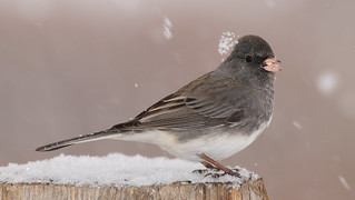 Dark-Eyed Junco - Slate Colored in the Snow | by Darin Ziegler