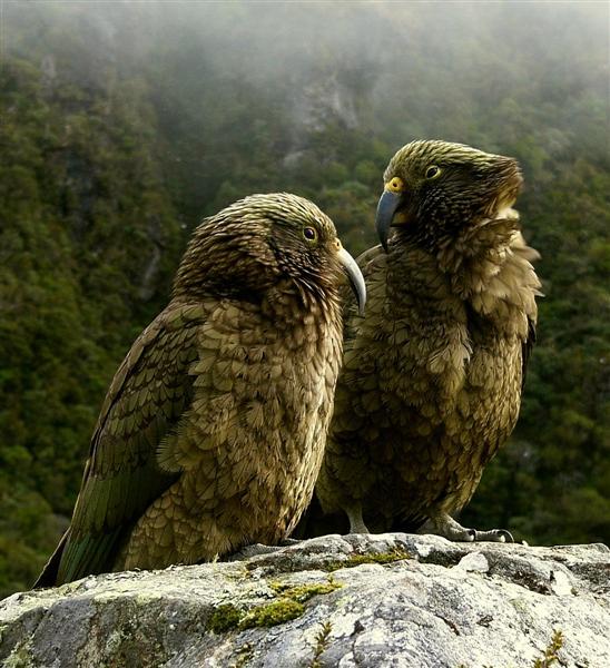New Zealand Kea - Nestor notabilis