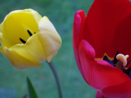 two tulips | by Sherrie {birchbarksoap}