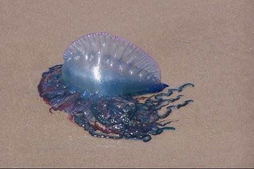 South Padre Island Jellyfish