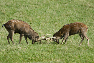 Hog Deers Locking Antlers | by Simon Pamment Photography