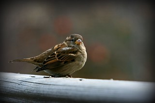 Female house sparrow | by md763
