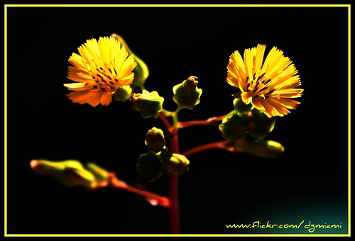Tiny Yellow Flowers Close Up | by dgmiami