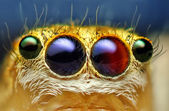 Anterior Median and Lateral Eyes of a Female Jumping Spider - (Maevia inclemens) | by Thomas Shahan