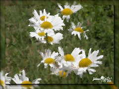 White Daisies | by J5uliana