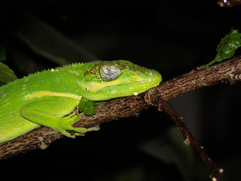 3 cuban anole green lizard gecko miami florida septembe u2026 flickr