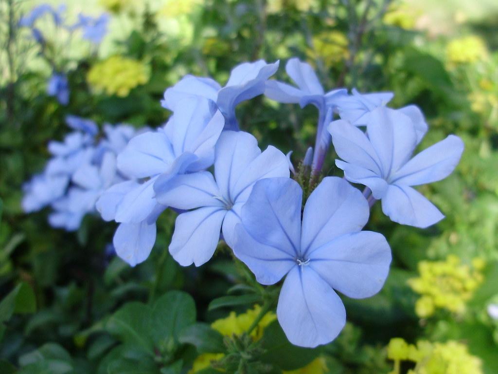 Blue Clover Flower | Blue Clov...