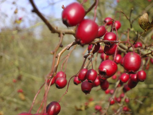 Crategus monogyna (Hawthorn Haws) | by James's GW Blog