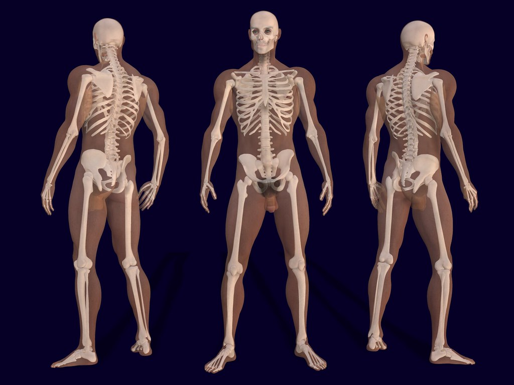 3D Male Skeleton Anatomy | 3D render of a male skeleton with… | Flickr