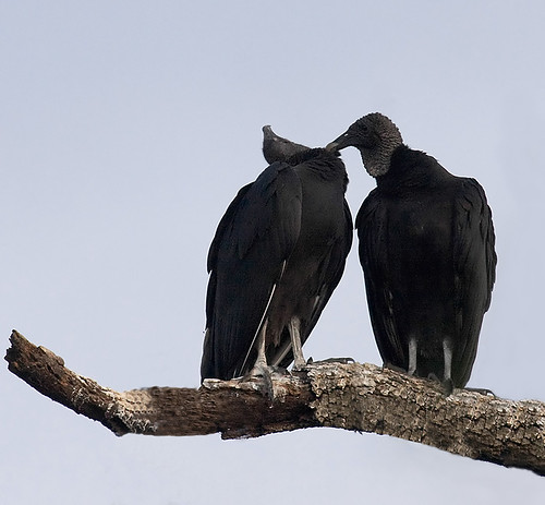 Bliss (Black Vultures, Coragyps atratus) by Dotty Motta | by Manatee County Parks & Natural Resources