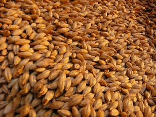 Malted Barley - Close-Up | by epicbeer
