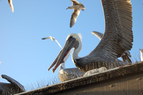 Pelicans these guys hang out on the roof here near the for Fish cleaning station near me