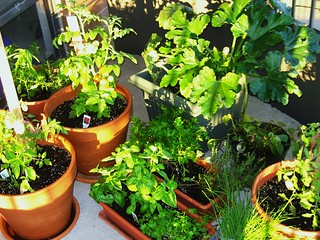 My patio garden - mid-July | by Stacy Spensley