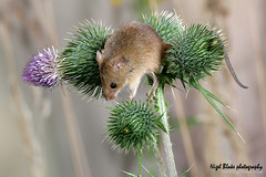 Harvest Mouse Micromys minutus | by Nigel Blake, 15 MILLION views! Many thanks!